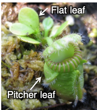 A Cephalotus plant bearing both pitcher and flat leaves