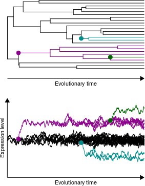 Phylogeny-based simulation of expression evolution