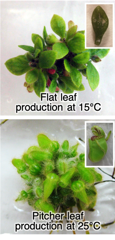 Cephalotus plants producing either flat or pitcher leaves