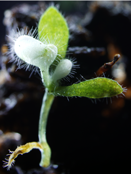 A Cephalotus plantlet showing the PDS-knockdown phenotype