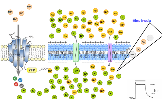 Schematic of a cell membrane with measuring electrode and heterologously expressed channelopsin-2, as well as in the inset a light-induced depolarization of such a cell membrane.