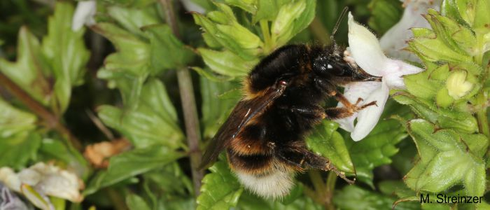 Bumblebee (<i>Bombus ruderatus</i>) collecting nectar at a white flower