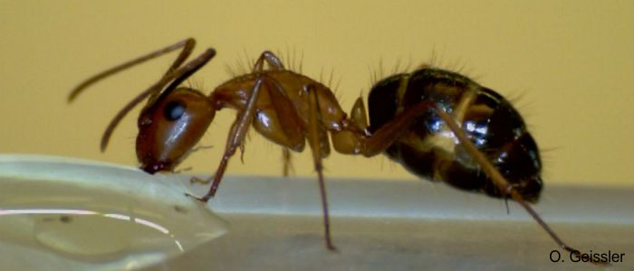 Nectar feeding ant (<i>Camponotus floridanus</i>) collecting sugar water solution