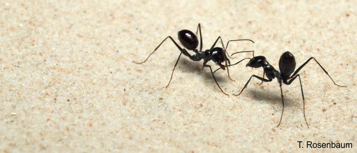 Desert ant (<i>Cataglyphis fortis</i>) interacting with each other