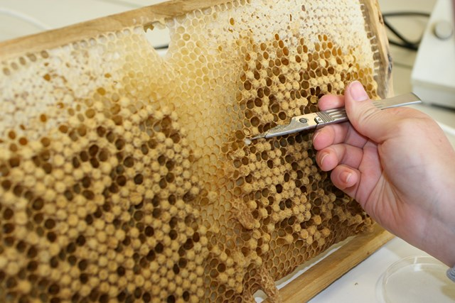Pic:male bee brood