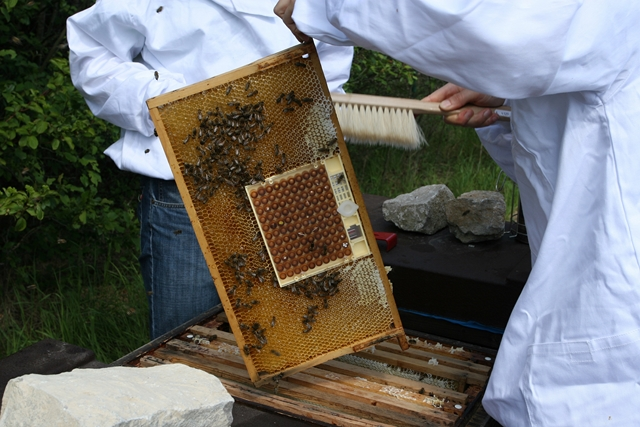 Pic:Beekeeping_6_bee comb with special room for the queen
