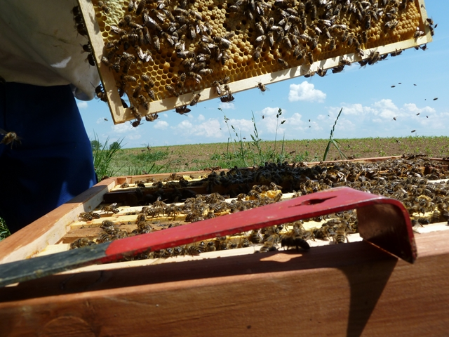 Pic:Beekeeping_9_Open hive with comb