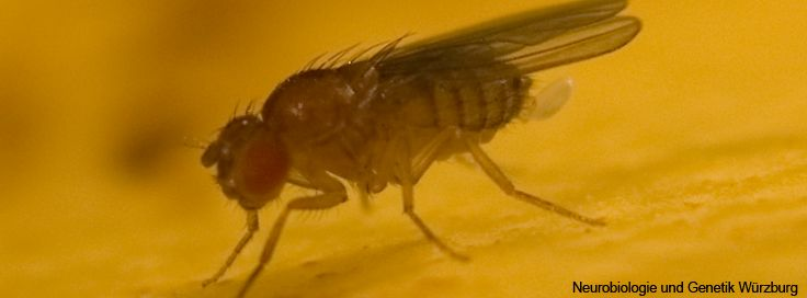 Bild Drosophila