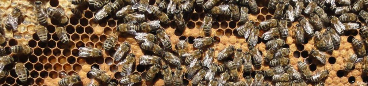 Honeybee <i>Apis mellifera</i> workers on partly capped brood frame