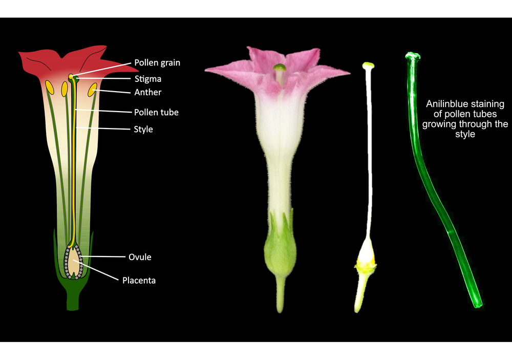 Anatomical overview of a tobacco flower and anilinblue staining of growing pollen tubes