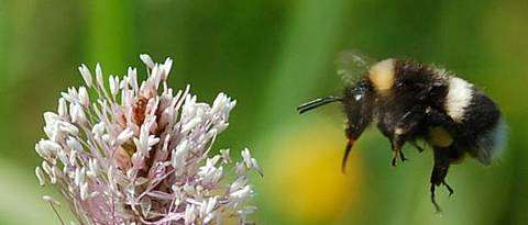 Bumblebee (<i>Bombus lucorum</i>) flies mit extended tongue towards a plantain flower (<i>Plantago</i>)