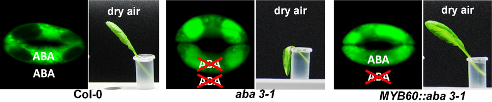 Left: ABA-induced stomatal closure in wild-type plant at dry air, leaf survives. Middle: Stomata of ABA-free mutant are unable to close; leaf wilts. Right: Mutant with guard cell restored ABA-synthesis, leaf survives.