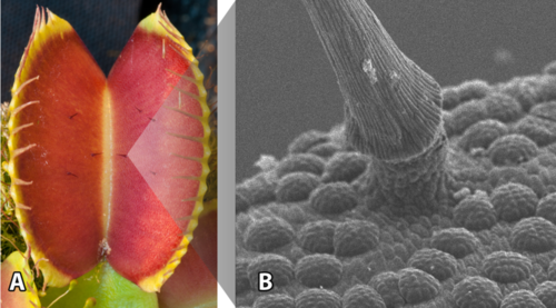 Image of an open Dionaea trap (left) and scanning electron microscopy showing the base of a trigger hair