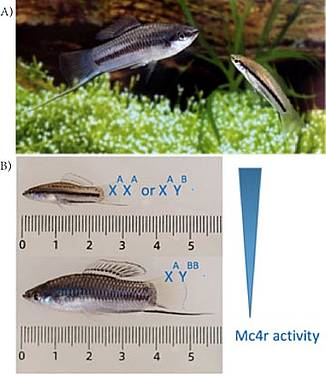 Wild type Xiphophorus nigresis male fish showing body length polymorphism (A) and genetic polymophism (B) (Source: modified from Maderspacher F. 2010, Curr Biol and Lampert KP et al. 2010, Curr Biol)