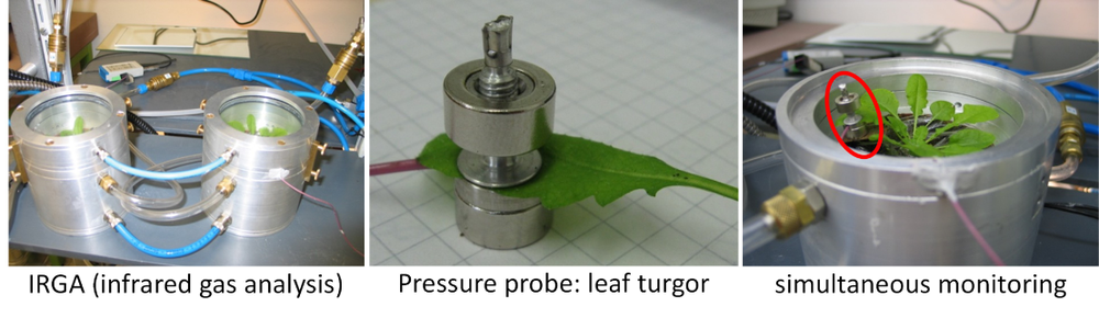 Measuring methods: Left: gas exchange cuvette for measurement of water loss via stomata. Middle: pressure probe mounted on a leaf for measurement of the leaf turgor. Right: simultaneous measurement of gas exchange and leaf turgor.