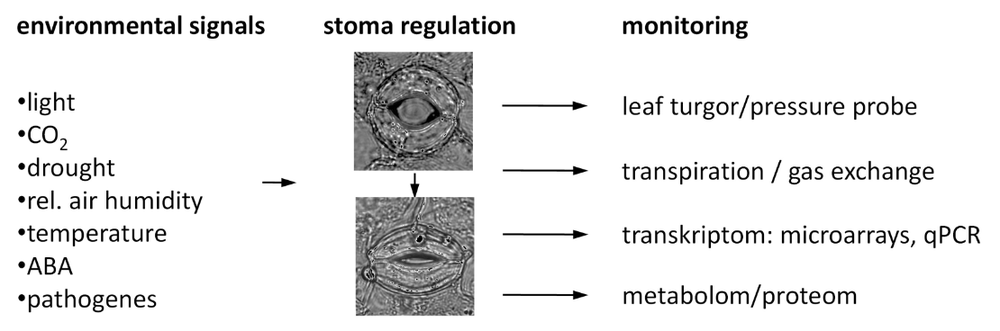 Experimental setup. Left: signals that lead to stomatal closure. Middle: open stoma and arrowhead to closed stoma. Right: monitored parameters.