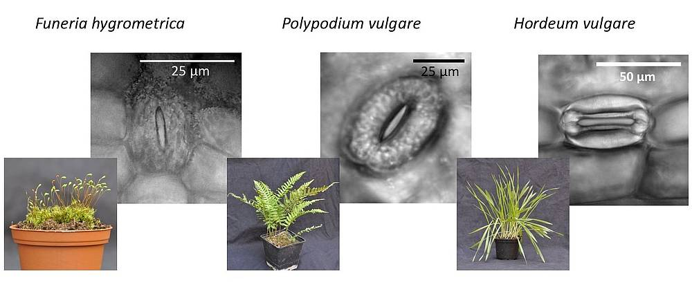 Images of stomata of the moss Funaria hygrometrica, the fern Polypodium vulgare and the seed plant Hordeum vulgare.
