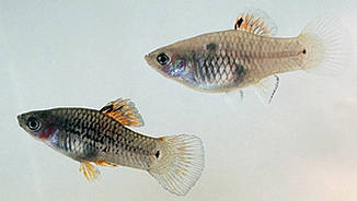 Xiphophorus maculatus male and female
