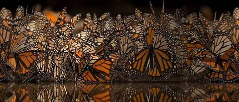 Monarch butterflies (<i>Danaus plexippus</i>) mirroring on water surface